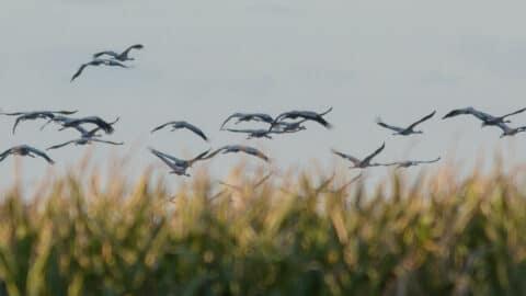 Kraniche fliegen übers Feld