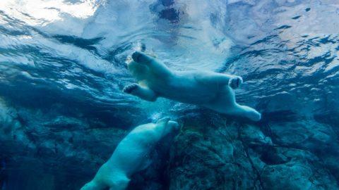 Unterwasseraufnahme von zwei schwimmenden Eisbären