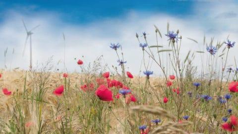 Kornblumen vor Getreide und Windrad